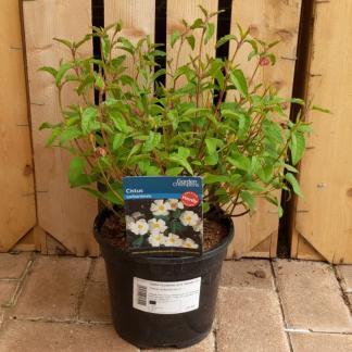 Cistus corbariensis (3 litre pot)