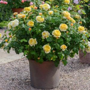 Display David Austin Roses Charles Darwin 6L Premium Potted Rose