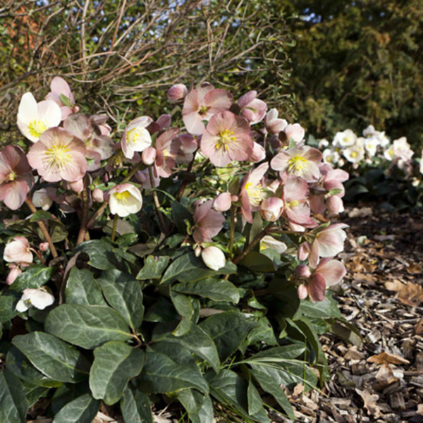 Plant Helleborus 'HGC Maestro' at the front of a border