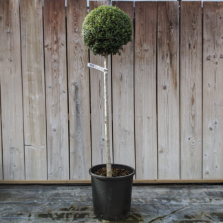 Ligustrum jonandrum 120cm 1/2 standard privet (18 litre pot)