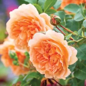 David Austin Roses Dame Judi Dench 6L Shrub Rose