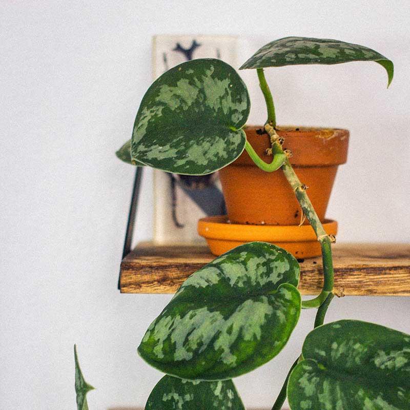Devils Ivy House Plant