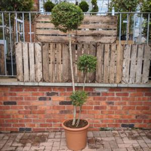 Ligustrum jonandrum 150cm Pom Pom (30 litre pot)