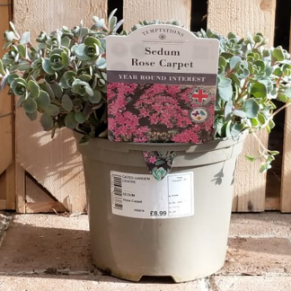 Sedum 'Rose Carpet' (2 litre pot)