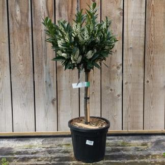 Prunus laurocerasus 'Otto Luyken' 1/4 Standard 50-80cm excluding pot 30-35cm Head (12 litre pot)