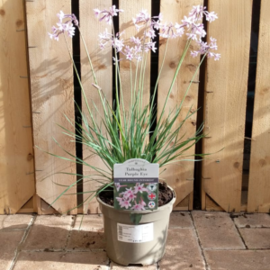 Tulbaghia 'Purple Eye' (2 litre pot)