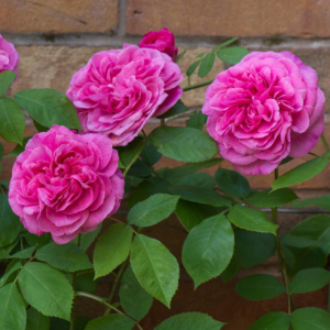 David Austin Roses Gertrude Jekyll 6L Climbing Rose