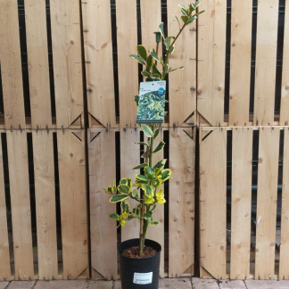 Ilex × altaclerensis 'Golden King' holly (3 litre pot)