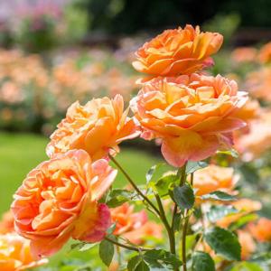 David Austin Roses Lady Of Shalott 6L Shrub Rose