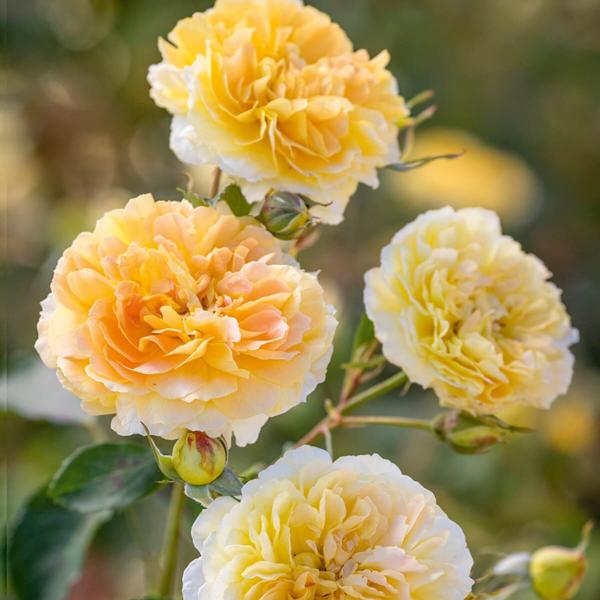 David Austin Roses Molineux