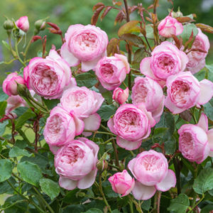 THE MILL ON THE FLOSS English Shrub Rose bred by David Austin