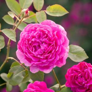 David Austin Roses Noble Antony 6L Shrub Rose