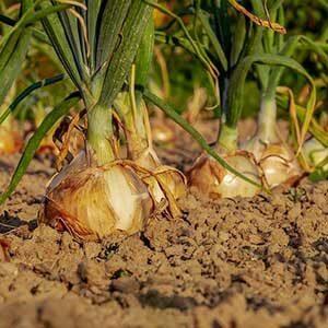 Garlic & Onion Sets