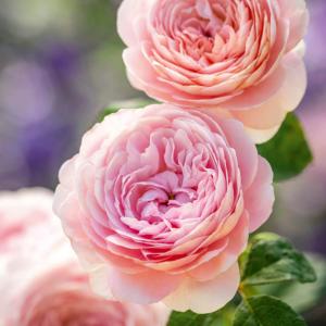 David Austin Roses Queen Of Sweden 6L Shrub Rose