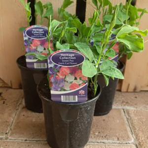 Sweet Pea 'Giant Cut Flower' (9cm pot)