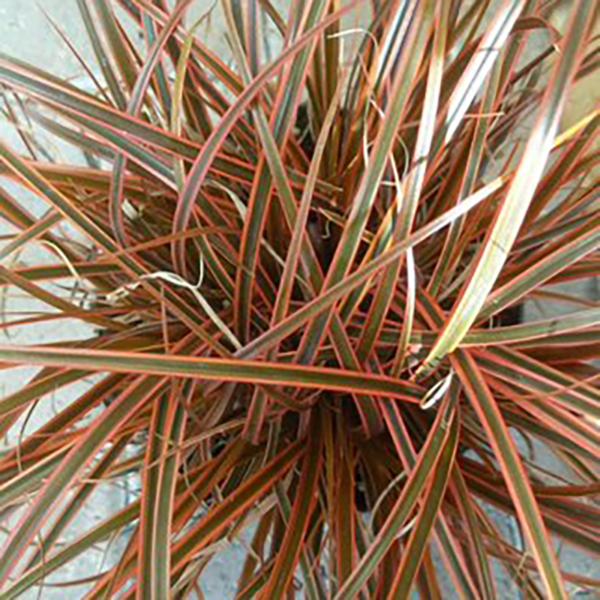 Uncinia 'Everflame' detail