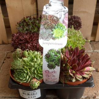 Sempervivum mixed
