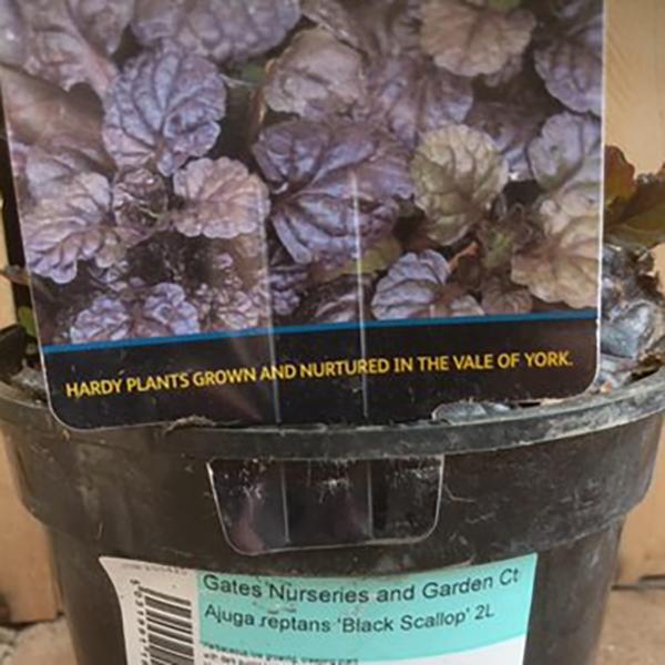 Ajuga Reptans 'Black Scallop' (2 litre pot)