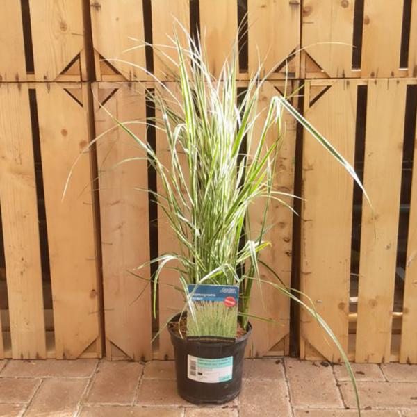 Calamagrostis acutiflora 'Overdam' (2 litre pot)