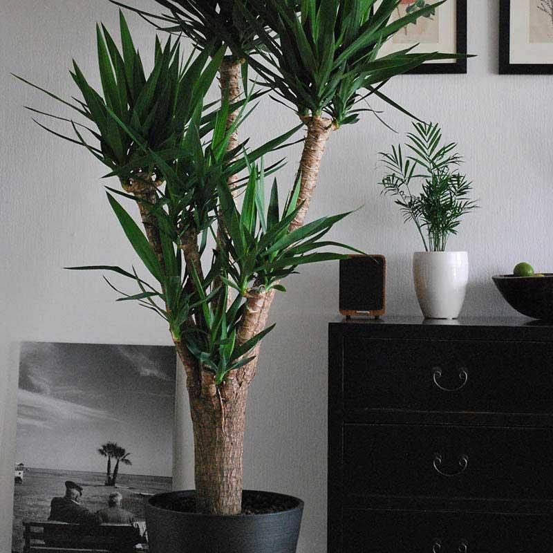 Spineless Yucca Houseplant